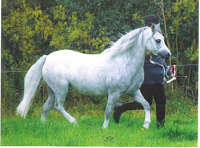Premium bred - Martyr Tydfil Misty Maid - Owned by Mary Giles